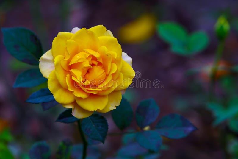 Темно-желтый медный затеняемый розовый цветок стоковое изображение rf