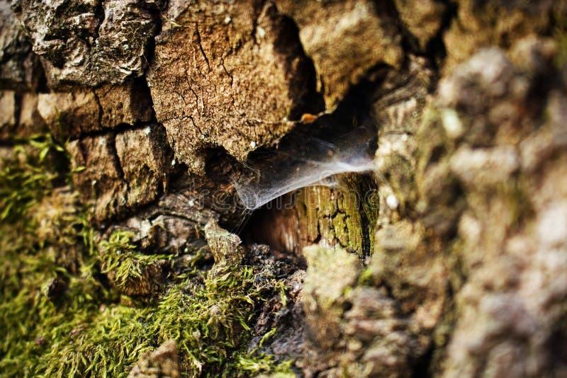 Темно-коричневая кора с зеленым мхом и пауком стоковая фотография
