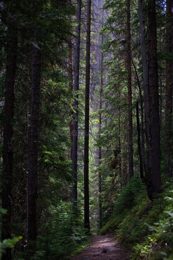 Темные и высокорослые сосны в национальном парке скалистой горы стоковое фото rf
