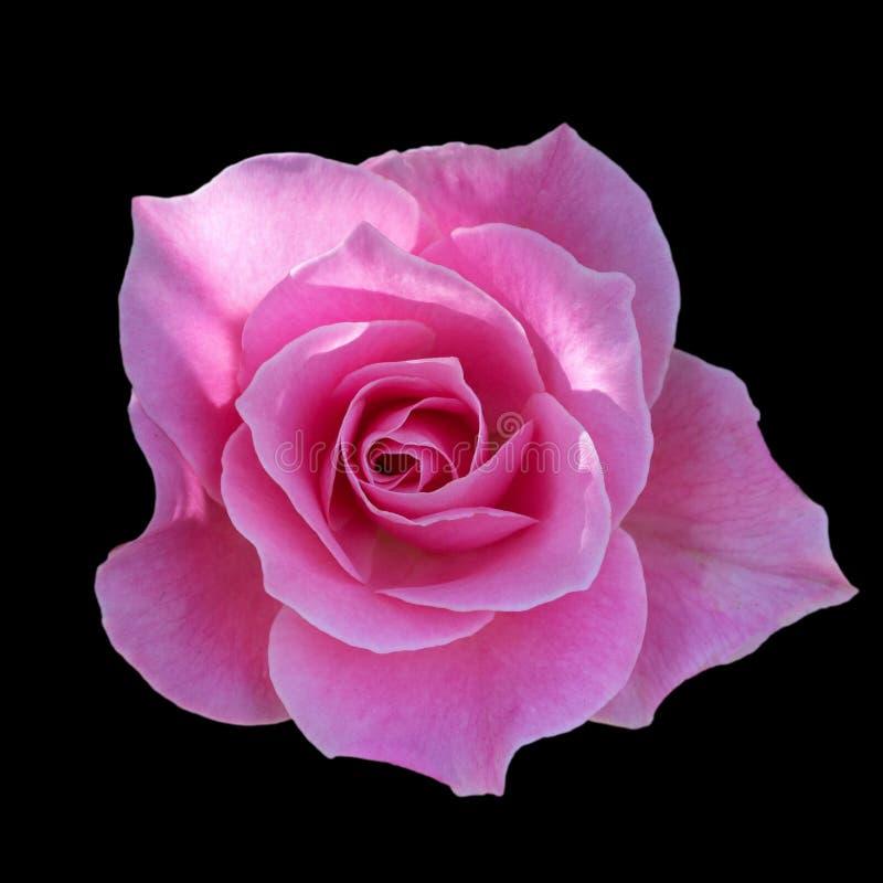 Темные розовые розы предпосылка, роза пинка изолированная на черной предпосылке, поздравительной открытке с роскошные розы, отобр стоковые фотографии rf
