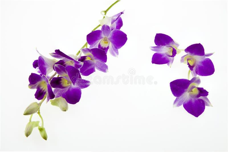 Темные розовые цветки орхидеи на белой предпосылке стоковые изображения rf