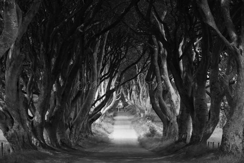 Темные хеджы в графстве Антрим, Северная Ирландия стоковые фото
