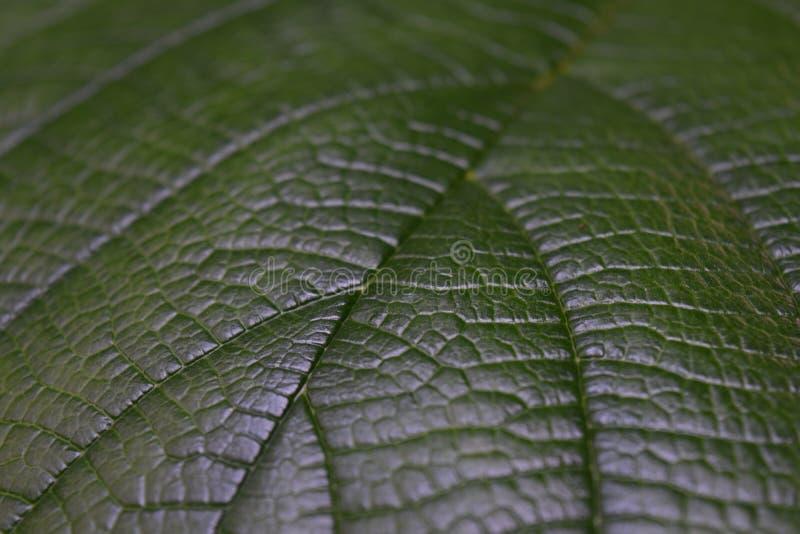 Темные ые-зелен вены и текстура лист стоковые фотографии rf