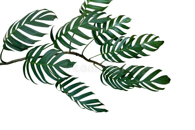 Темные ые-зелен листья филодендрона Monstera засаживают расти в одичалом стоковое фото rf