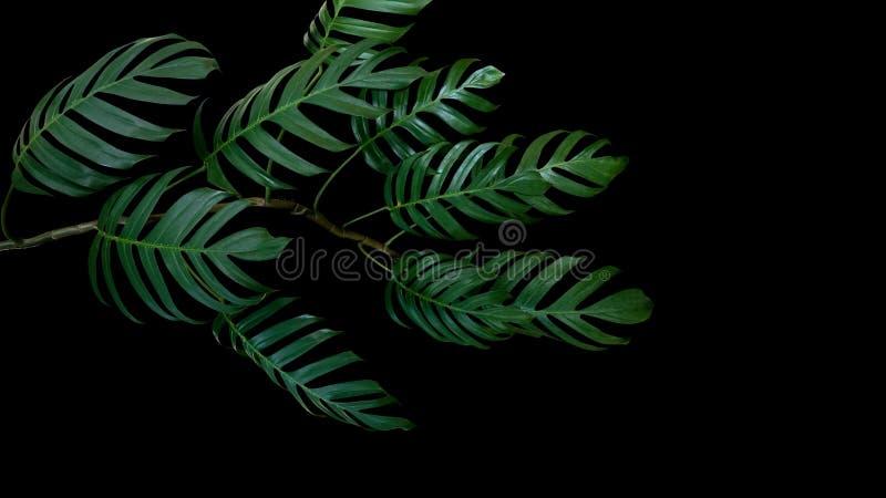 Темные ые-зелен листья филодендрона Monstera засаживают расти в одичалом стоковое изображение