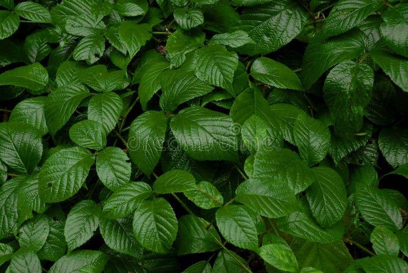 Темные ые-зелен листья ежевики стоковые фото