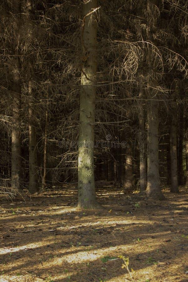 Темный елевый лес осени леса, теплая осень и сосны стоковые изображения