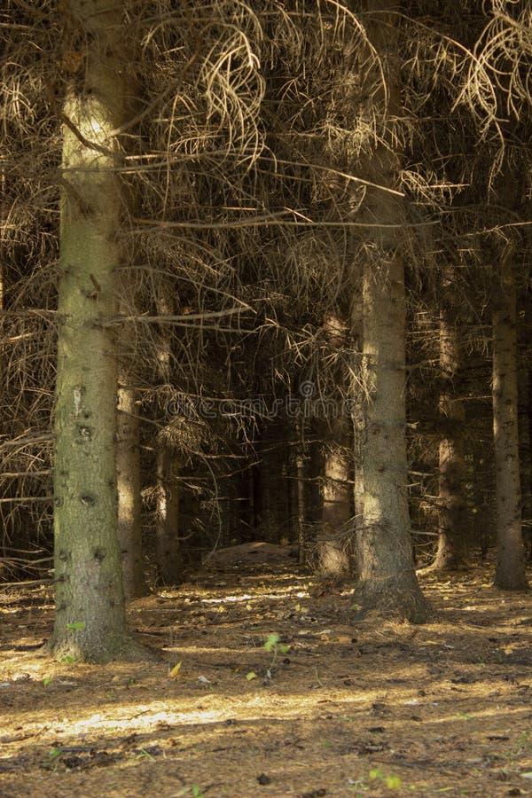 Темный елевый лес осени леса, теплая осень и сосны стоковое фото