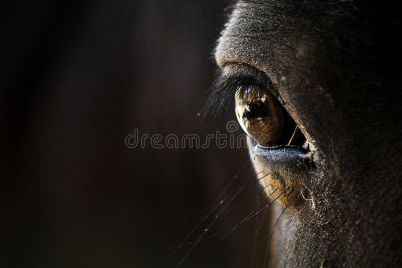 Темный коричневый крупный план глаза лошади стоковые фотографии rf