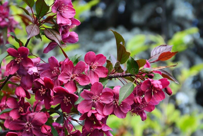 Темный - красная королевская власть яблони цветений crabapple стоковые фотографии rf