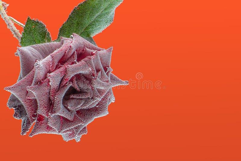 Темный - красная роза под водой, предусматриванной с воздушными пузырями стоковое фото