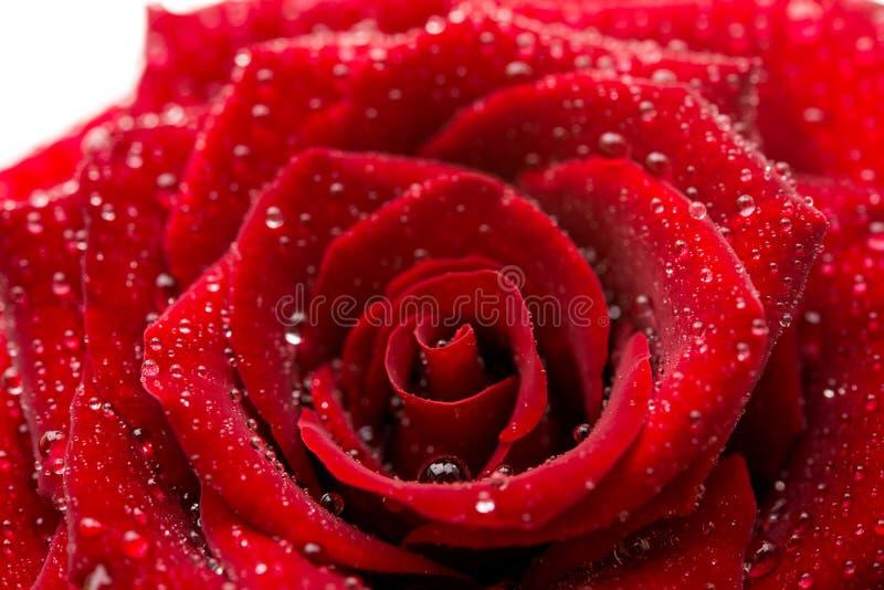 темный - красная роза при изолированные капельки стоковая фотография rf