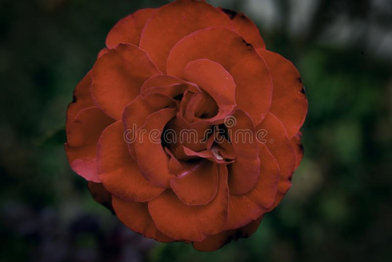 Темный - красная роза стоковые изображения rf