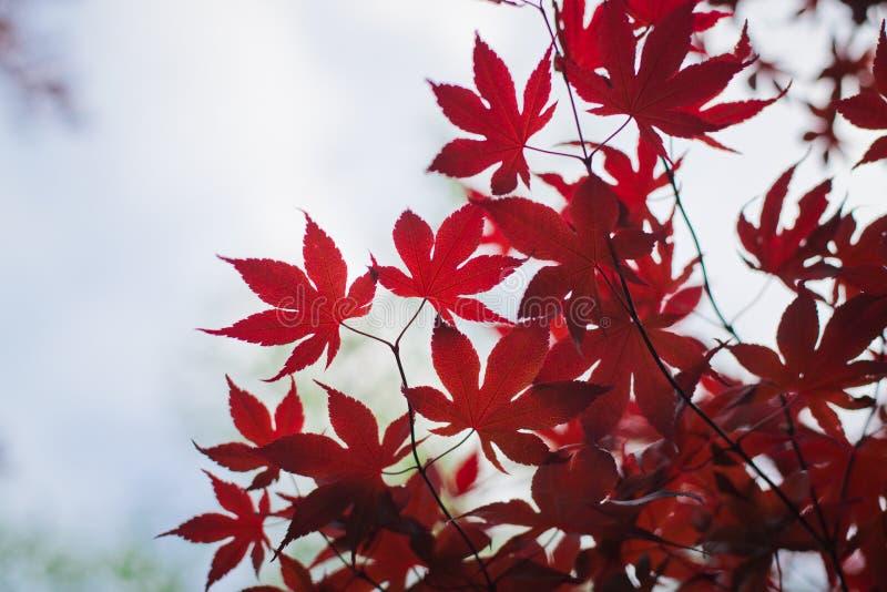 Download Темный - красные кленовые листы в небе как предпосылка Стоковое Фото - изображение насчитывающей backhoe, яркое: 81803640
