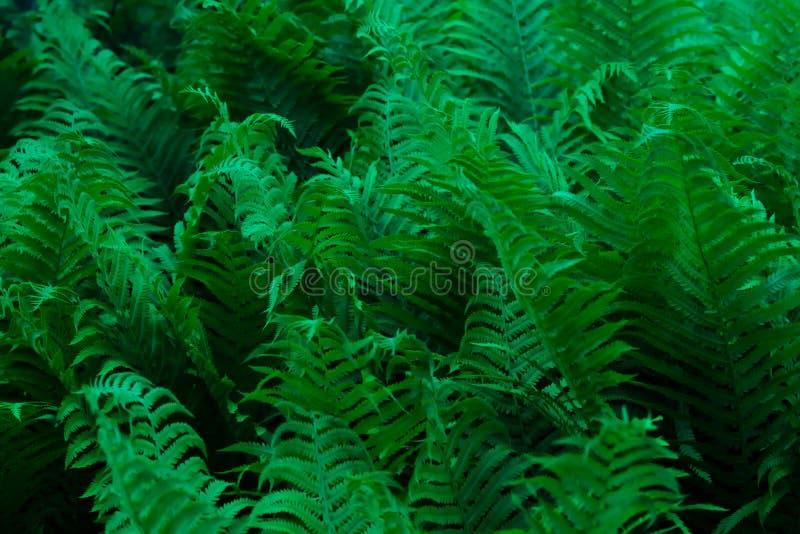 Темный лес перерастанный с папоротником Polypodiophyta стоковые изображения rf