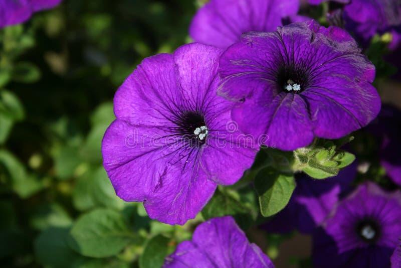 темный пурпур петуньи стоковая фотография rf