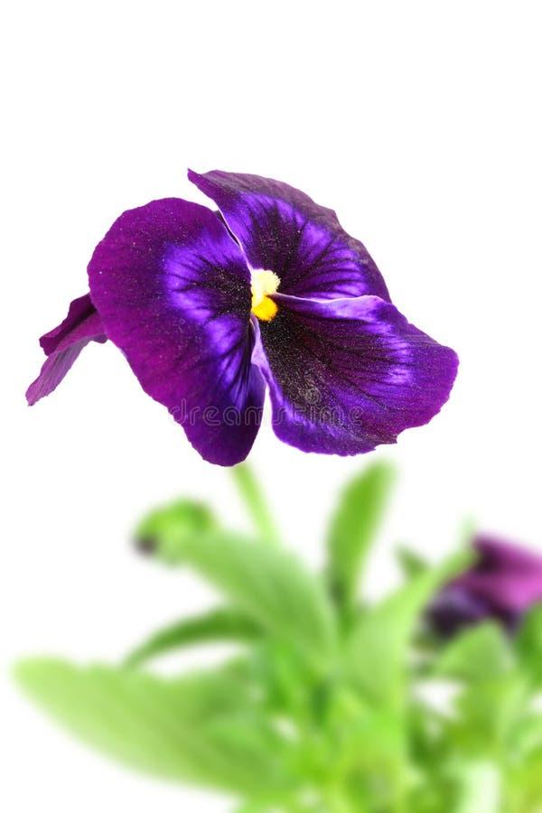 Темный фиолетовый цветок pansy стоковые изображения