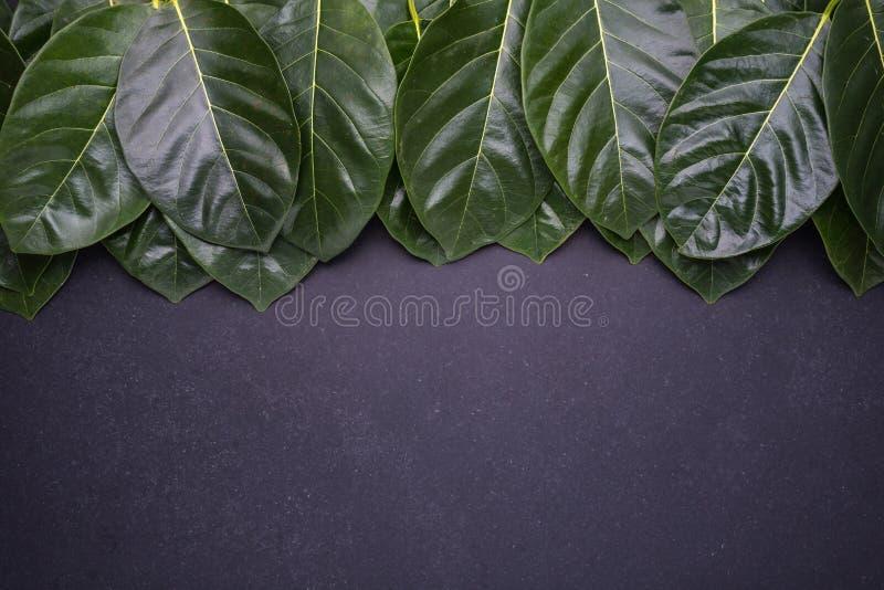 Темный ый-зелен цвет дерева джекфрута выходит на черный bac камня стоковое изображение