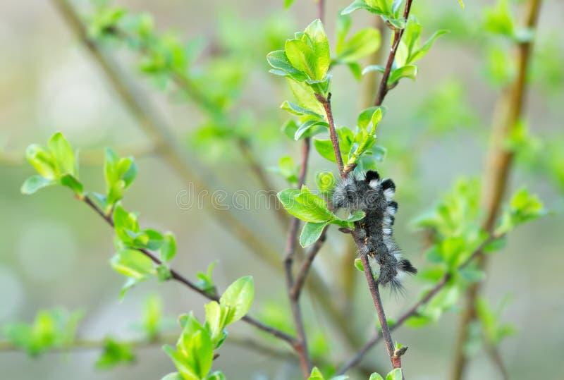 Темный tussock, личинка fascelina Dicallomera питаясь на хворостине salix стоковые изображения rf