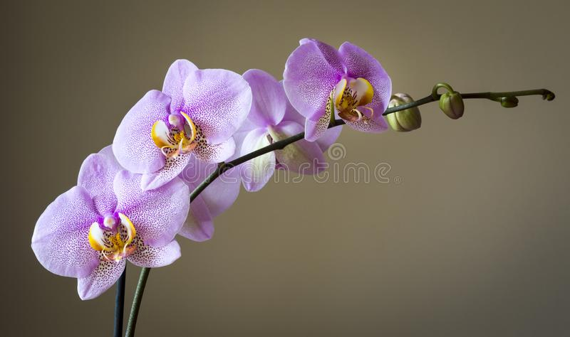Темным орхидея запятнанная пинком стоковые фото