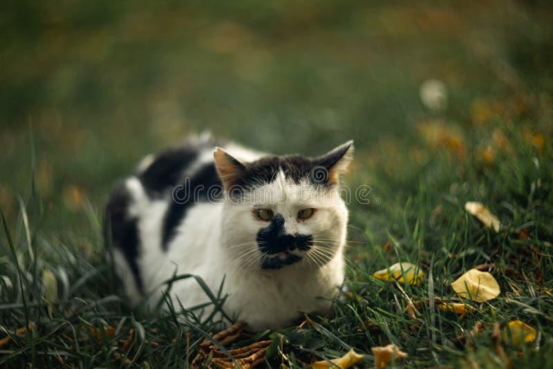 Темпераментное бездомное косоглазое жмурится пятнистый кот смотрит вас в на зеленой траве стоковые изображения rf