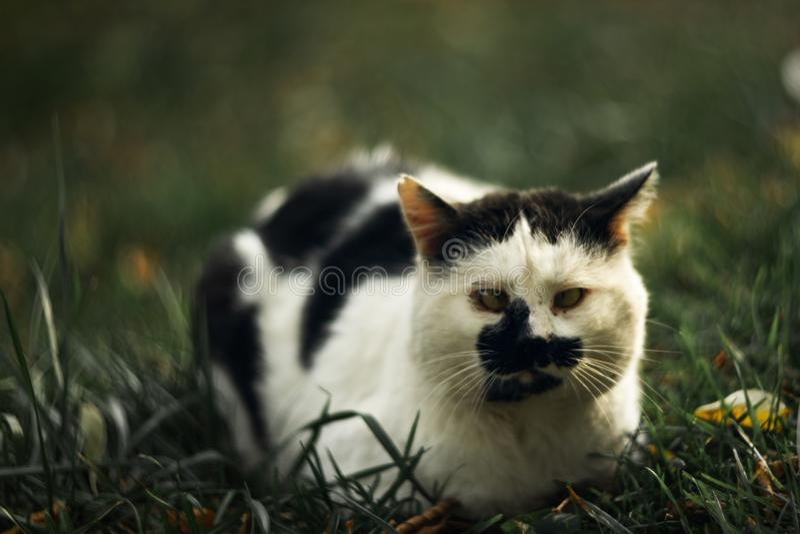 Темпераментное бездомное косоглазое жмурится пятнистый кот смотрит вас в на зеленой траве стоковое фото