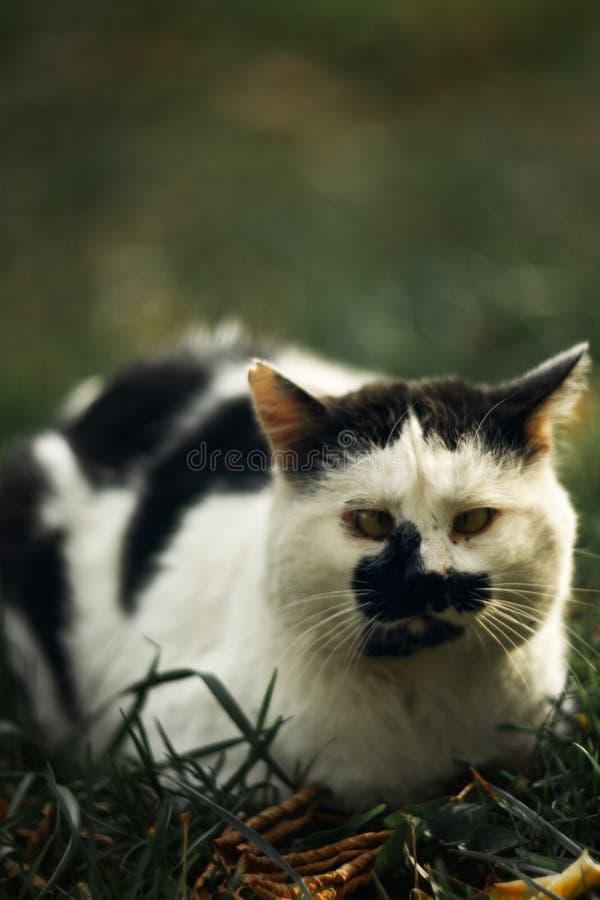 Темпераментное бездомное косоглазое жмурится пятнистый кот смотрит вас в на зеленой траве стоковые изображения