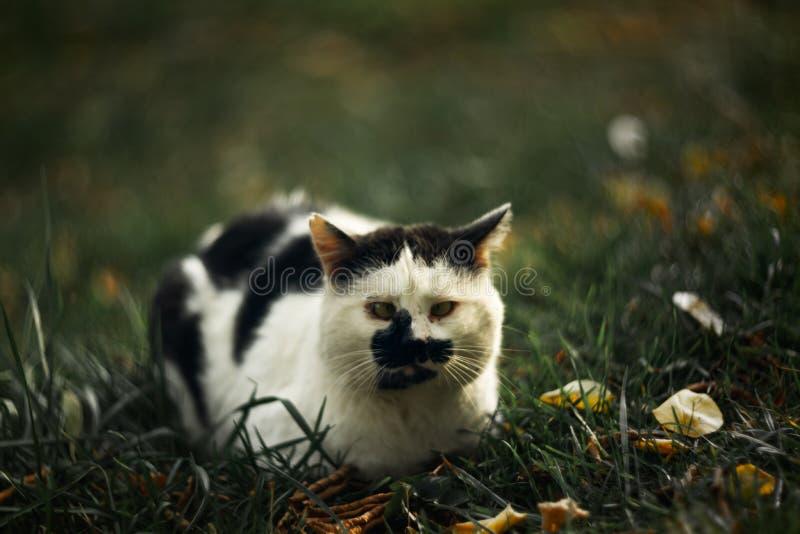 Темпераментное бездомное косоглазое жмурится пятнистый кот смотрит вас в на зеленой траве стоковое изображение