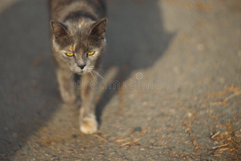 Темпераментный бездомный серый кот смотрит вас в большом городе Прогулки кота на асфальте Кот бездомен стоковое фото rf
