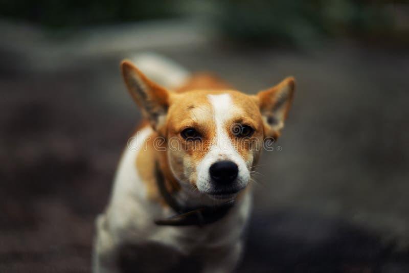 Темпераментный терьер Джек Рассела породы собаки стоковое изображение rf