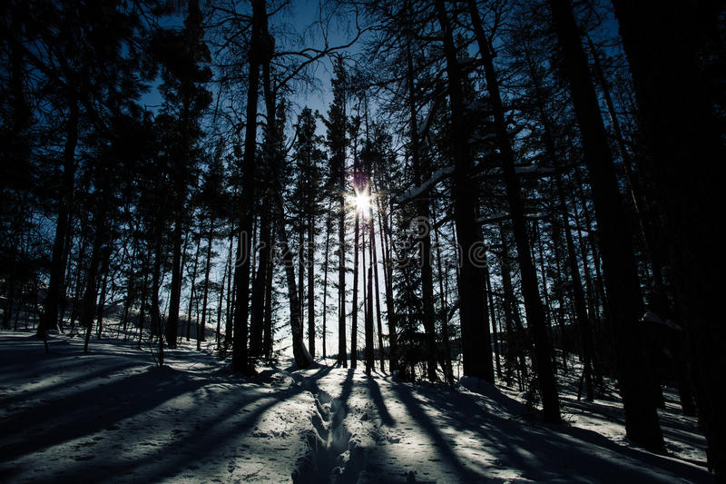 Тени высоких деревьев в лесе зимы стоковое фото