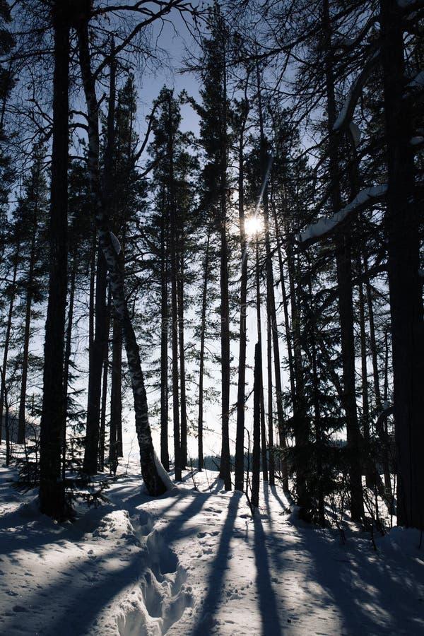 Тени высоких деревьев в лесе зимы стоковые фотографии rf