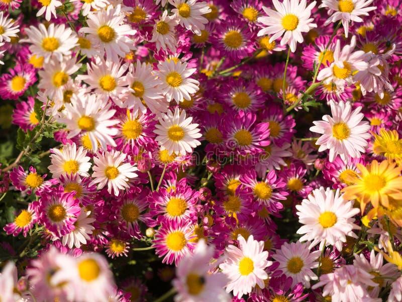 Тени розовых цветков мам стоковые изображения