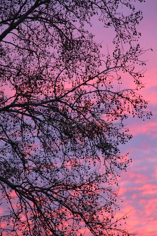 Тени цвета на заходе солнца с силуэтом эвкалипта стоковые фотографии rf