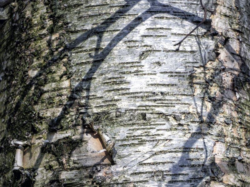 Тень ветви падает на колючую корочку моховой березы стоковое изображение rf