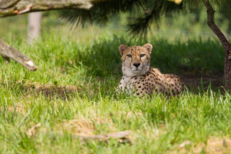 тень гепарда отдыхая стоковые изображения