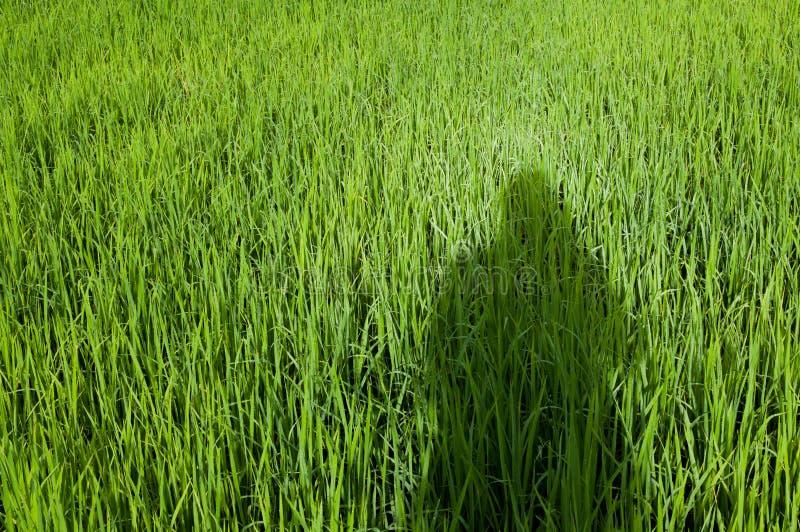 Тень людей на поле риса стоковые изображения