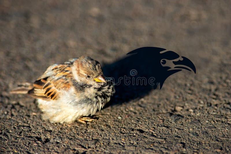Тень орла воробья стоковая фотография