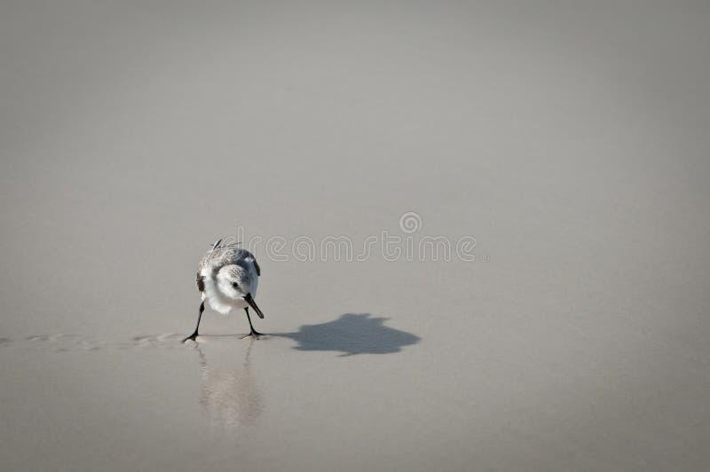 тень sandpiper отражения стоковое фото rf