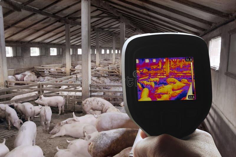 Термальное изображение свинофермы стоковое фото