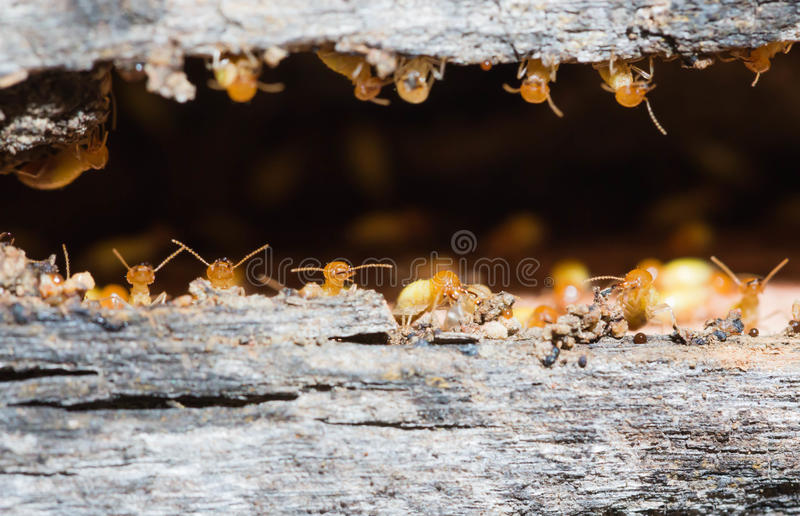термит стоковая фотография