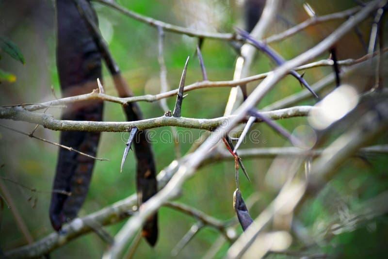 Тернии дерева саранчи меда большие и стручок семени, Грузия стоковое фото