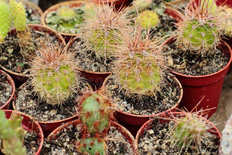 тернии кактуса длинние стоковая фотография