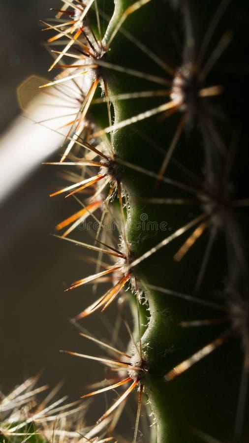 Тернии кактуса снятые вверх по концу стоковая фотография