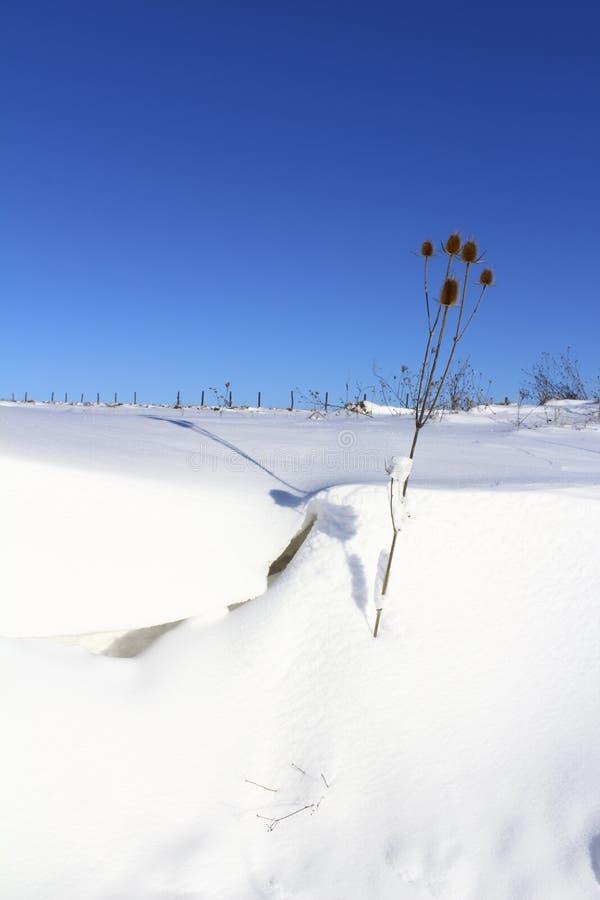 Терний в снеге стоковое изображение rf