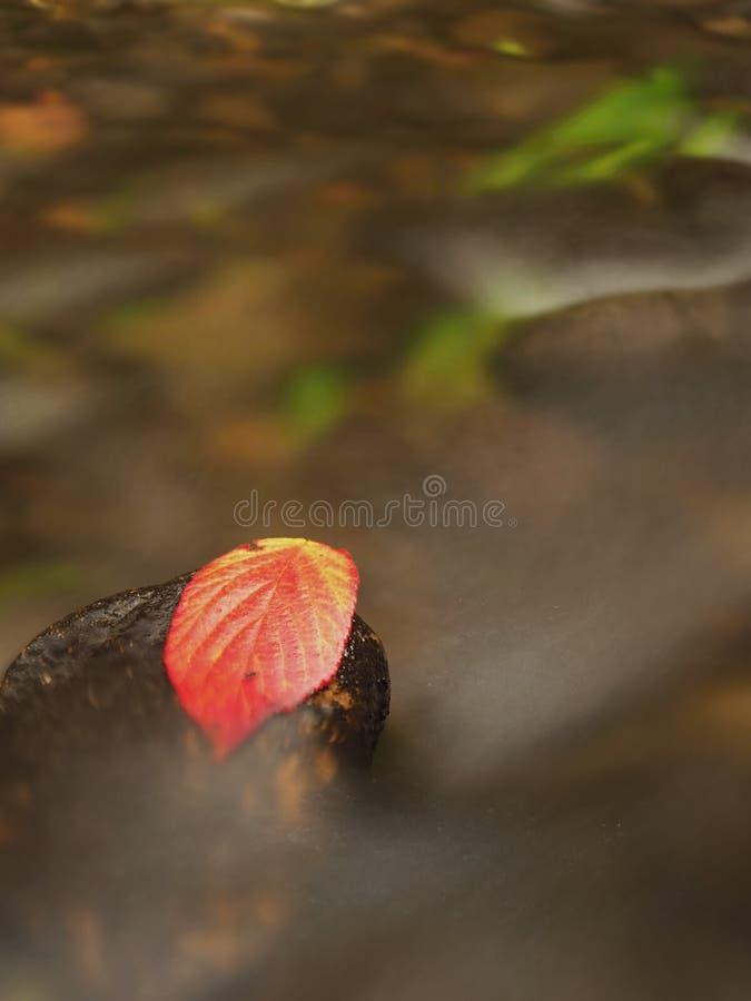 Download Терновые лист поленики зацеплянные влажный камень Lleaves поглотило в середине потока горы Стоковое Фото - изображение: 104787890