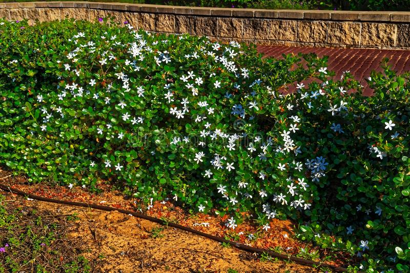Терновый зеленый куст с белыми цветками стоковое фото