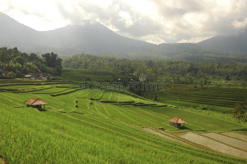 терраса риса bali Индонесии стоковые изображения