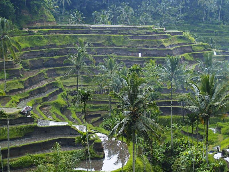 терраса риса bali Индонесии стоковые фотографии rf