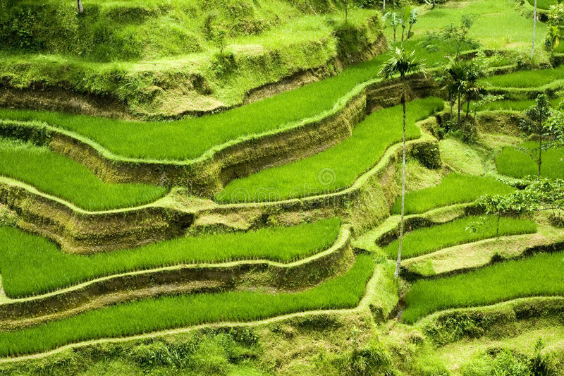 терраса риса bali стоковая фотография rf